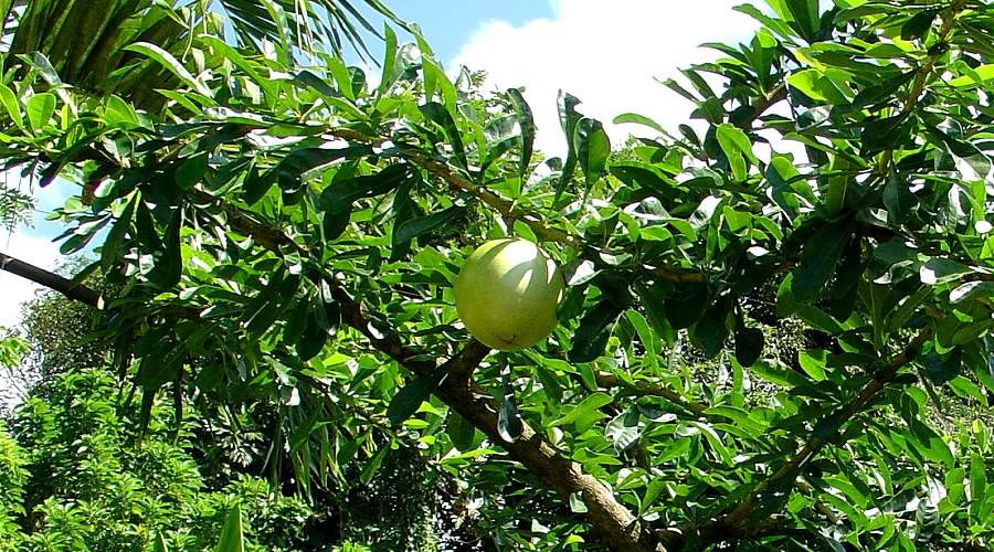 calabash plant and fruit