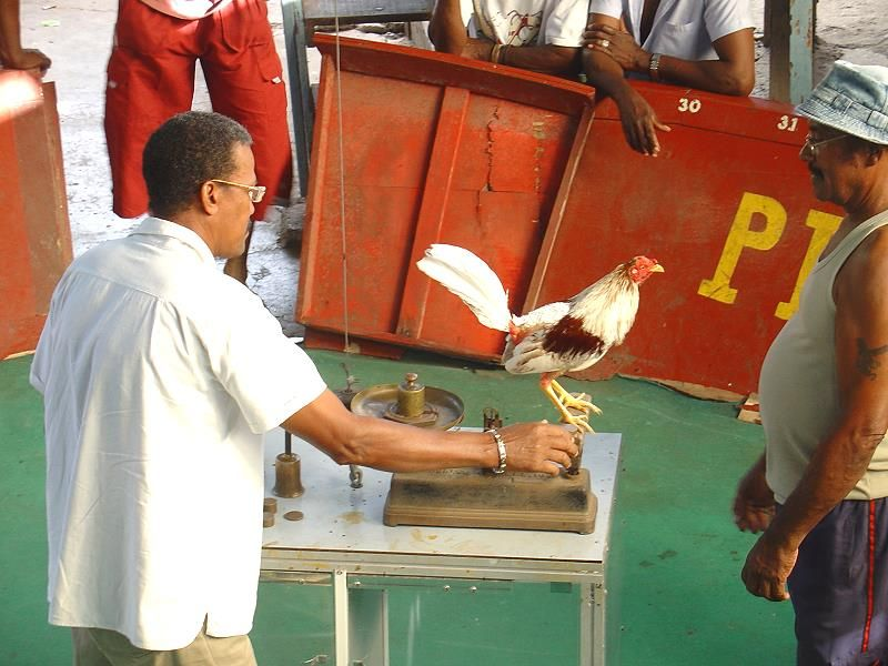 traditional cockfight in Martinique
