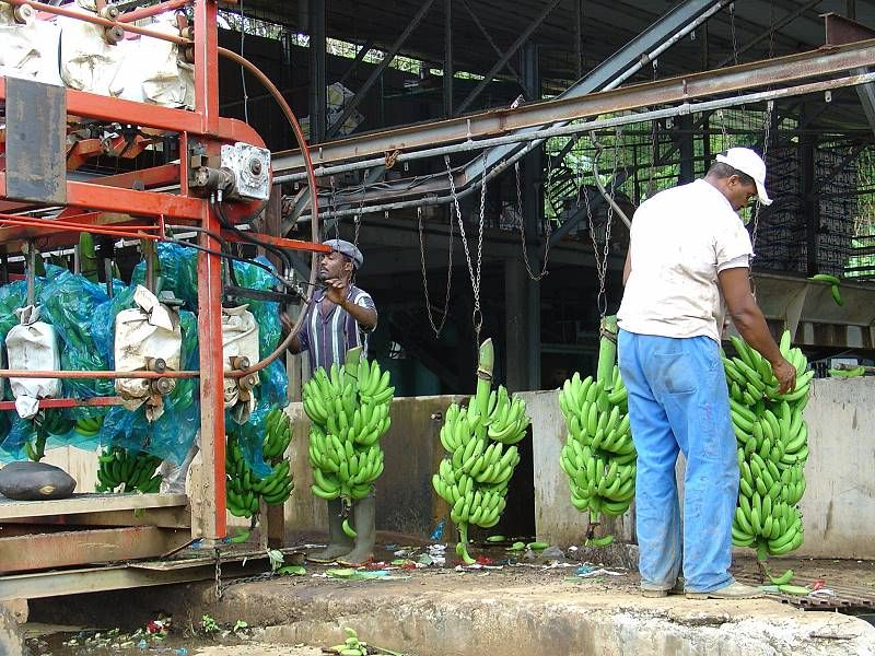 Martinique banana production