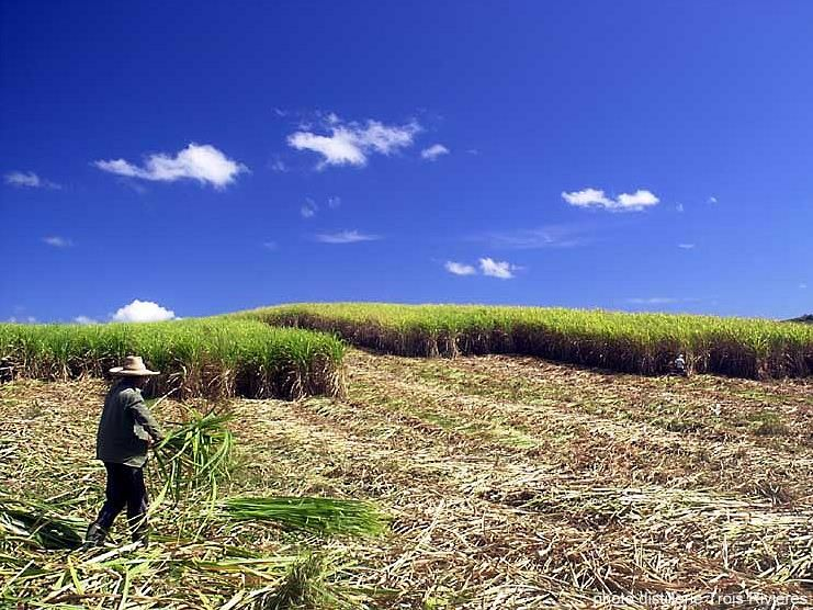 production and cutting sugar cane in Martinique