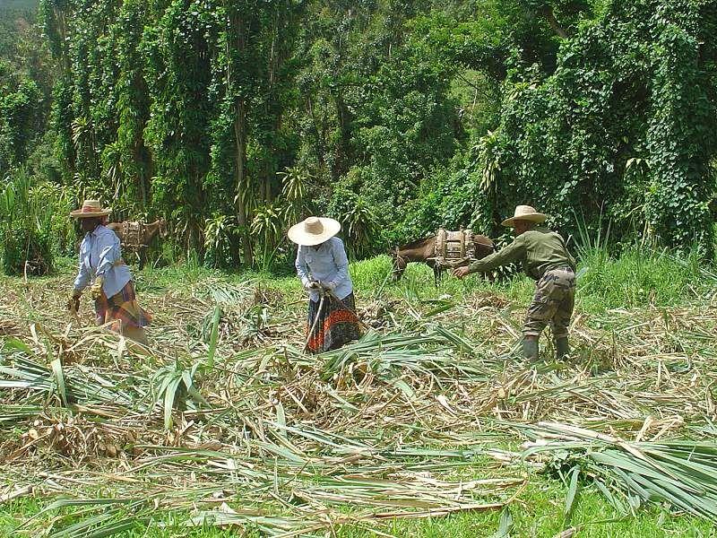 cane cutters in Martinique