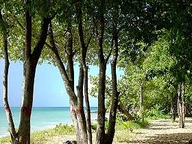 mancinella_tree_martinique_