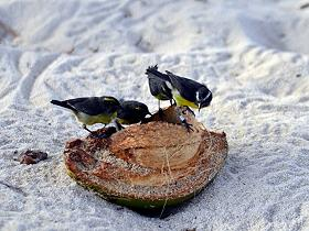 birds_sucrier_martinique