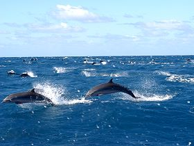 dolphins_martinique_001