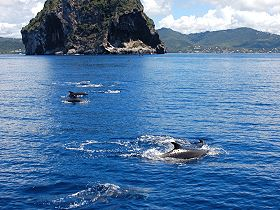 dolphins_rocher_du_diamant_martinique