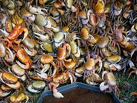mangrove_crab_for_sell_martinique