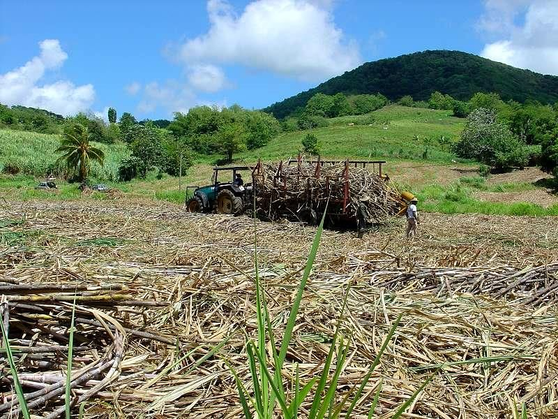 cutting sugar cane to product rum of Martinique